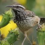 arizona state symbols state bird