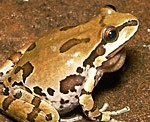 arizona state symbols amphibian tree frog