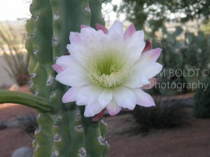 Arizona Gardening cactus Flower